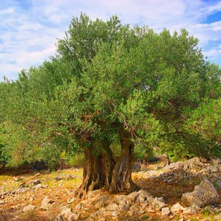 See the Olive Trees of Lun