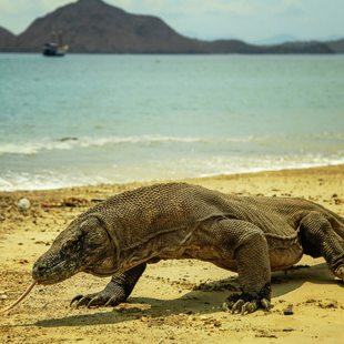 Komodo photo 38