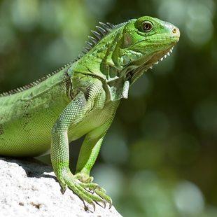 Green Iguana on the rock