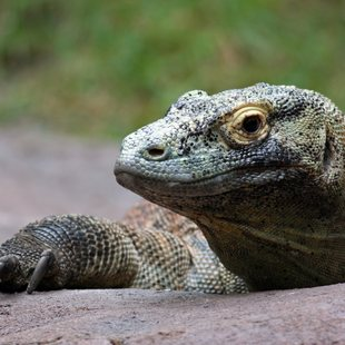Komodo photo 9