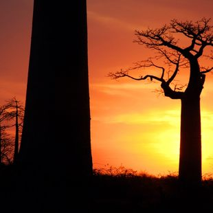 Baobab trees at the sunset