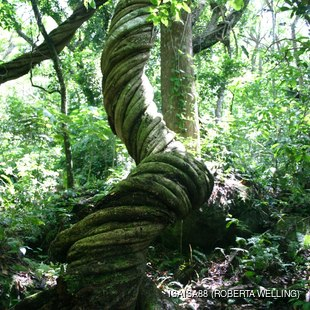 Twisted tree in Rain Forest