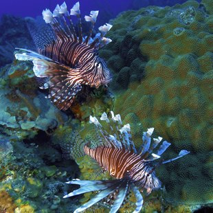 Two lionfishes on the coral reef surrounding Cuba