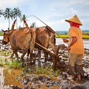 Indonesian farmer plowing the fields