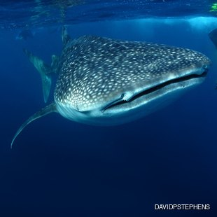 Experience the One of the Best Places to Swim with Whale Sharks