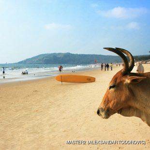 Cow with the people relaxing on the beach