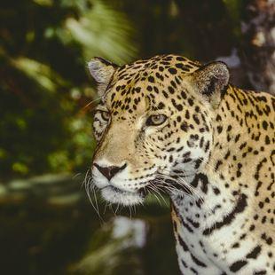 Wild Jaguar Pantera