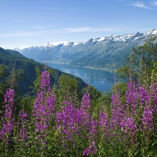 Beautiful purple flowers next to the Fjord
