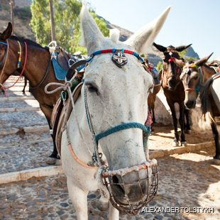Donkeys on the Streets of Thira in Santorini