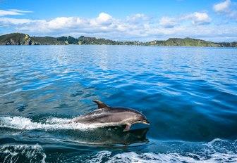 Dolphin swims alongside yacht in the Bay of Islands, New Zealand