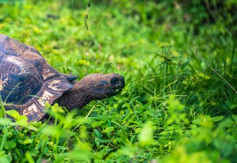 a giant turtle that is native to the galapagos islands and lives in one of the many animal sanctuaries there