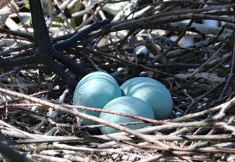egret eggs in nest on thanda island