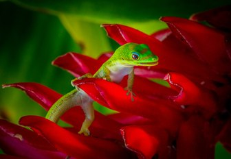 A green gecko perched on red petals