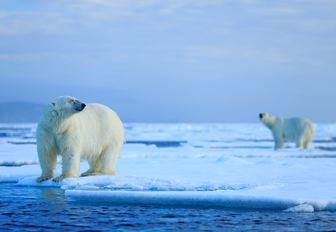 Polar bear on the ice in Iceland