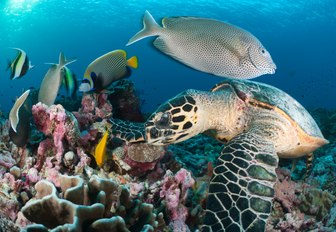 turtle, fish and colourful coral in turquoise waters of the seychelles