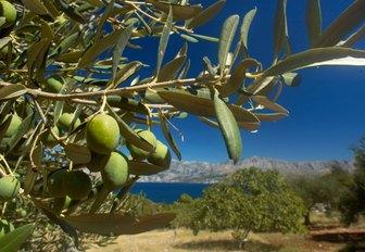 Olive grove in the hills of Croatia