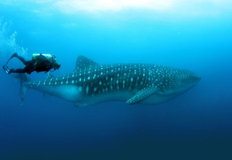a guest on a luxury yacht charter throws on their scuba diving gear and plunges into the expansive depths of the Galapagos waters where they swim with a docile whale shark