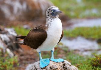 blue footed boobie stands on a rock in the Galapagos Islands