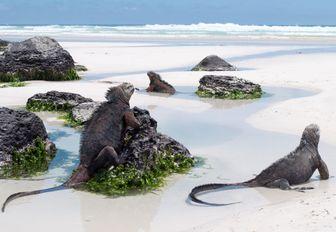 Galapagos Marine Iguanas on a beach in Tortuga bay on Santa Cruz island