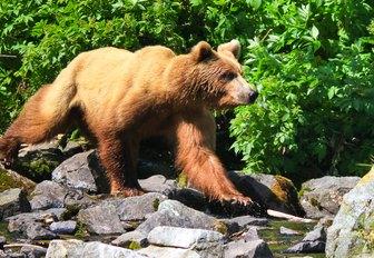 beautiful brown bear prowls the Alaskan coastline
