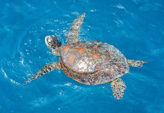 green sea turtle in Whitsundays, Queensland, Australia
