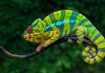 A chameleon with dark and light green stripes grasps a branch