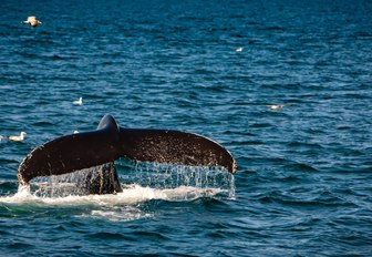 a whale emerges from below the waters of cape cod