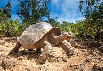 giant tortoise walks across sandy terrain in the Galapagos Islands
