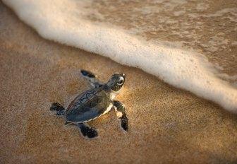 baby hawksbill turtle freshly hatched on shore of thanda island