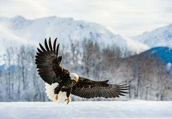 the national symbol for america is the bald eagle, which is an endangered species, many of the remaining birds actually live in alaska and are a sight to see while on a luxury charter