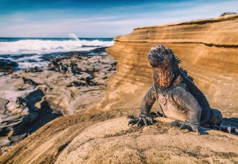 A marine iguana that is only native to the Galapagos island