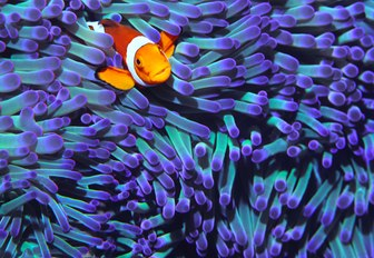 nemo fish peaks out of anemone in australia
