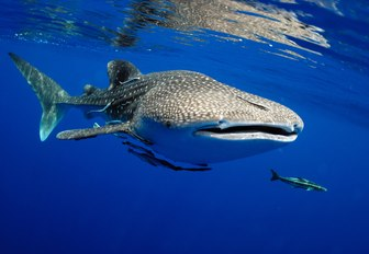 whale shark close to the surface in the maldives