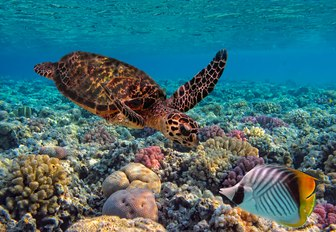 sea turtle swims over multi-coloured coral in the azure waters of Fiji