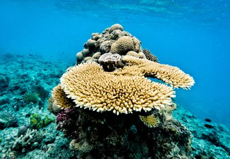 plate coral in the shallow waters of the Great Barrier Reef, Queensland, Australia