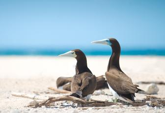 two brown boobys on beach in the Whitsundays, Australia