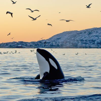 Catch some crabs and see some orca