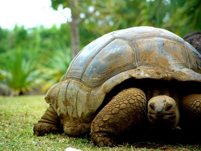 Walking turtle on the grass