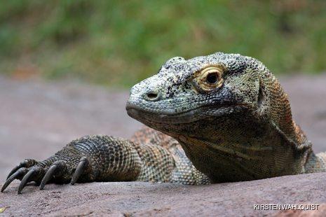 Lying Komodo Dragon