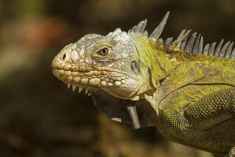Scary-looking Iguana