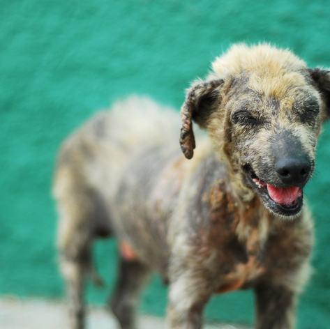 Free ranging dog in Cuba