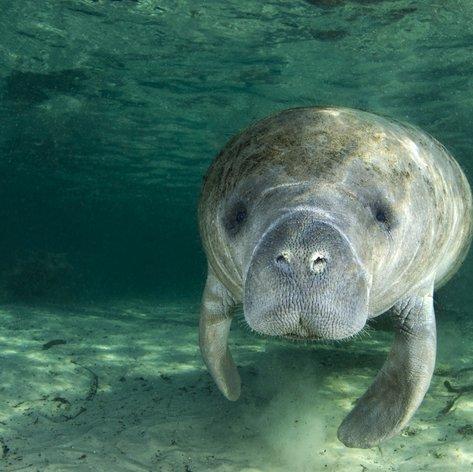See the manatees at the Seaquarium