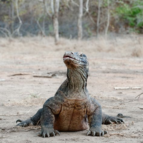 Komodo photo 21