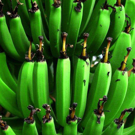 Green unripe bananas