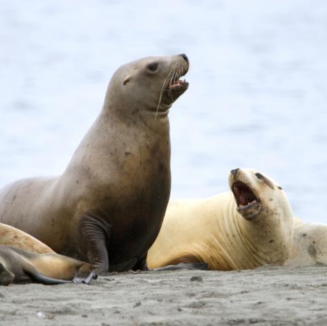 A Sea lion family