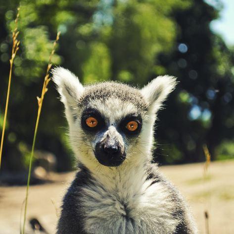 Orange-eyed lemur