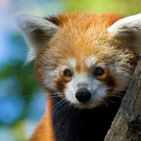 Red panda sitting on tree
