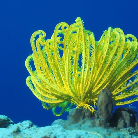 Yellow feather star or Crinoid
