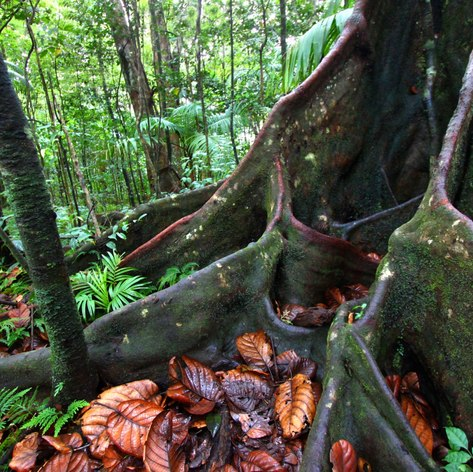 Tree roots in the St Kitts rainforest