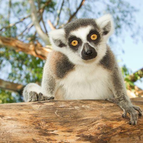 Cute staring lemur